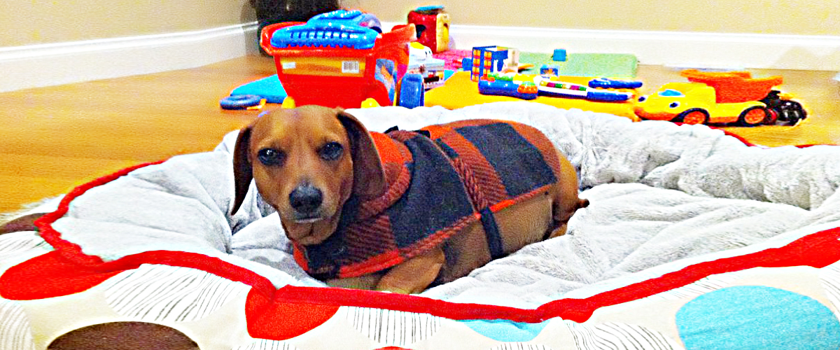 A brown colored beagle sitting in trendy printed clothes in his luxurious, soft and comfortable bed surrounded by toys.