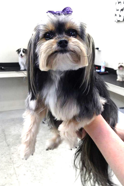 A shih tzu been worked upon by a dog grooming parlor, wearing a beautiful head accessory. The hair has been styled and combed.